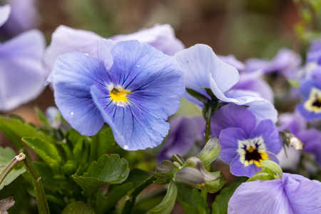 Flowering pansies and violets Stock Photo