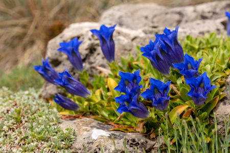 Blossoming Gentian Flowers Stock Photo