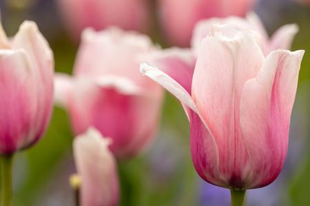 Flowering tulips in spring