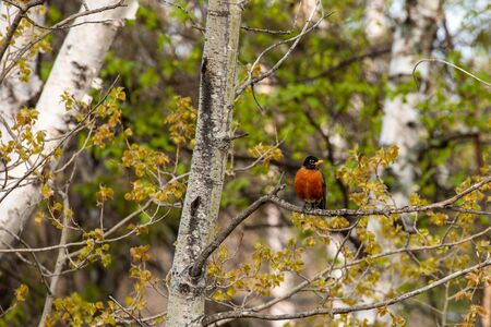 To American Robin in Canada