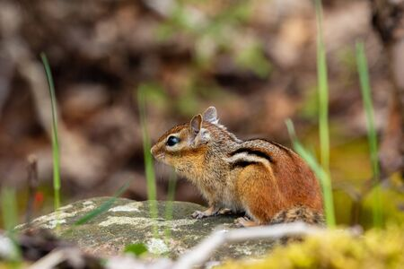 Canadian chipmunk in the forest
