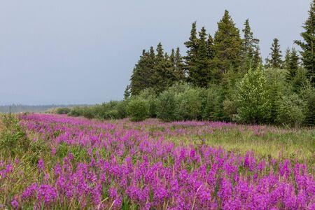 Fireweed along the Alaska Highway