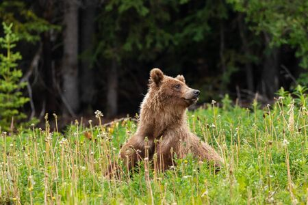 Grizzly Bear on a Meadow