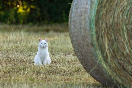 White Cat on a field is hunting a mouse Standard-Bild - 128067152