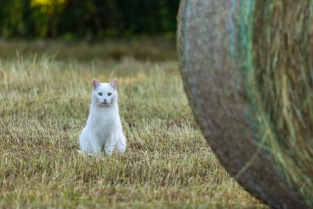 White Cat on a field is hunting a mouse Standard-Bild - 128067173
