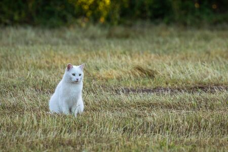White Cat on a field is hunting a mouse Standard-Bild - 128067174