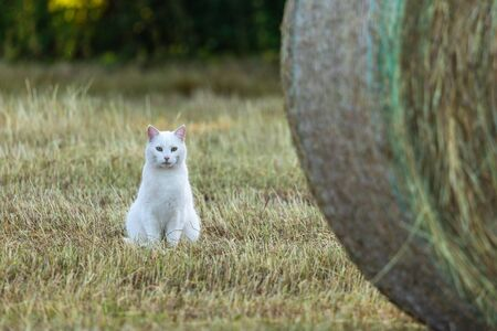 White Cat on a field is hunting a mouse Standard-Bild - 128067190