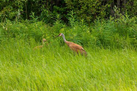 Sandhill Cranes of Canada