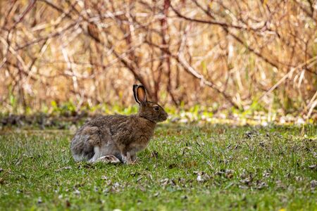 Snowshoe Hare on a Meadow