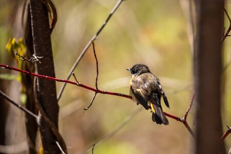 Yellow Rumped Warbler at Pukaskwa Forest Canada Banco de Imagens
