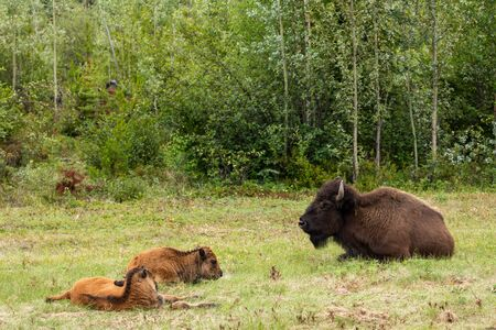 American bison along the Alaska Highway in Canada 版權商用圖片 - 128066928