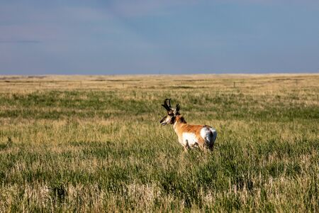 Pronghorn Antelope in the Prairie of Canada