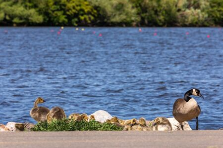Family of Canada Goose with Ducklings