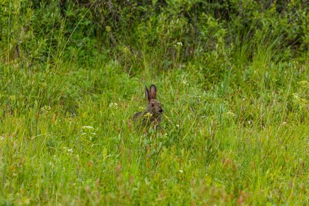 Canadian Hare in a Meadow