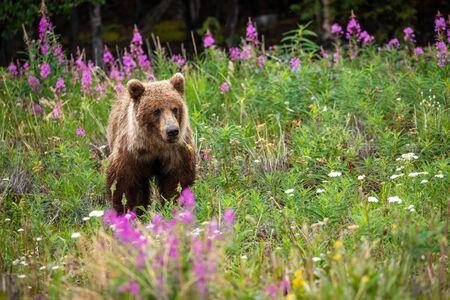 A Grizzly Bear on a Meadow Фото со стока