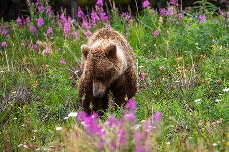 A Grizzly Bear on a Meadow Zdjęcie Seryjne