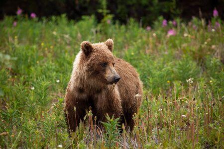 A Grizzly Bear on a Meadow Reklamní fotografie - 128604143