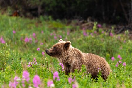 A Grizzly Bear on a Meadow Banco de Imagens