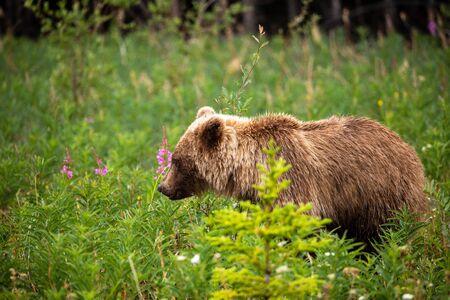 A Grizzly Bear on a Meadow 免版税图像