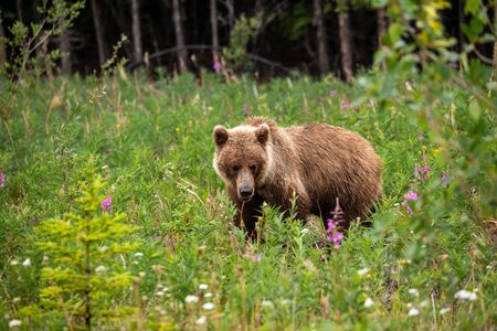 A Grizzly Bear on a Meadow Reklamní fotografie - 128604098