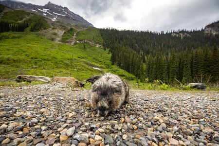 Marmot of the Rocky Mountains in Canada Foto de archivo