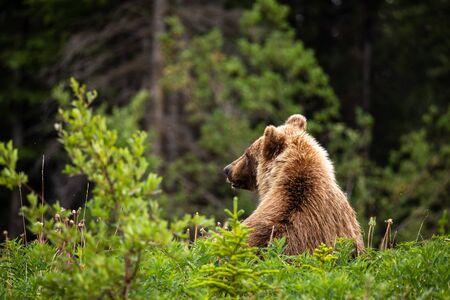 Braunbär und Grizzlybär auf Wiesen