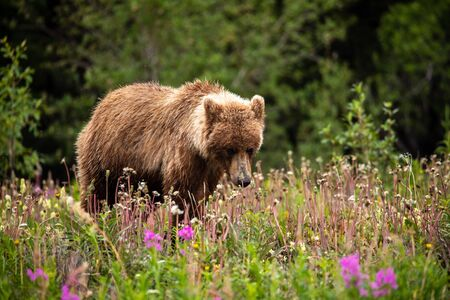 Brown Bear and Grizzly Bear on Meadows