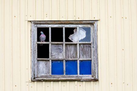 A dove in a window