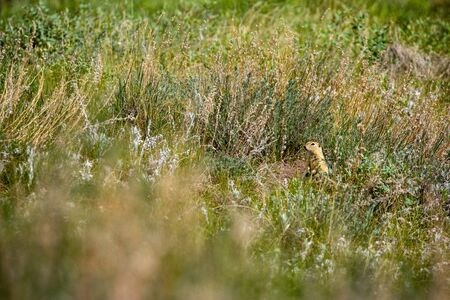 A Prairie Dog on a Meadow Stok Fotoğraf
