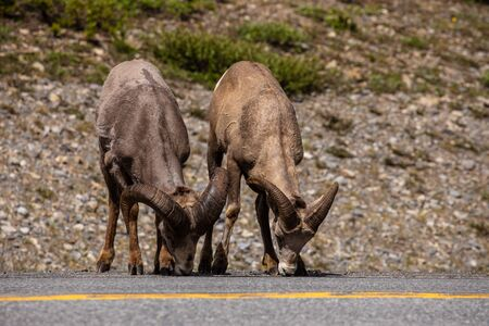 Bighorn Sheep of the Rocky Mountains in Canada Imagens