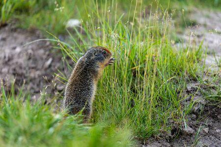 Ground Squirrels of Banff National Park Alberta Canada Stockfoto