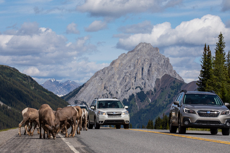 Bighorn Sheep of the Rocky Mountains in Canada Editorial