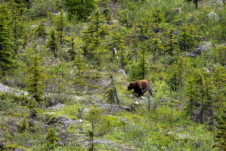 Brown Bear and Grizzly Bear in the forest