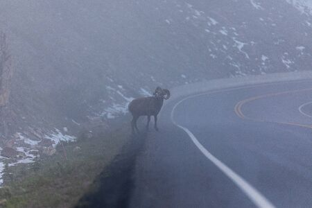 Bighorn sheep in the fog of the earl morning Stock Photo