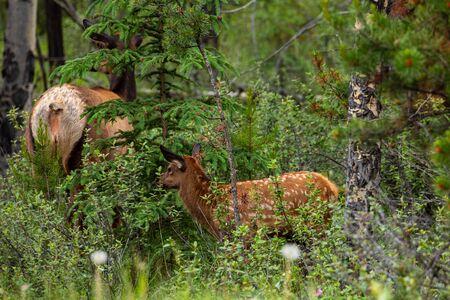 Wapiti at the wildlife of Jasper National Park