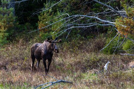 A moose in the forest of Algonquin Canada