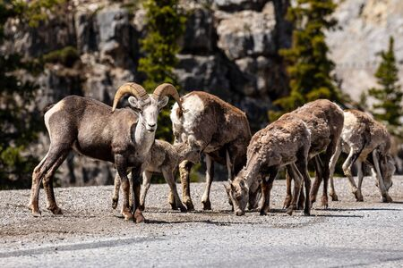 Bighorn Sheep of the Rocky Mountains in Canada