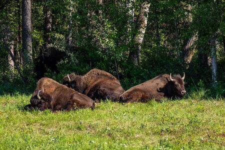 The American bison along the alaska highway in Canada Stock Photo