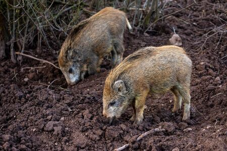 Young wild boar in the forest