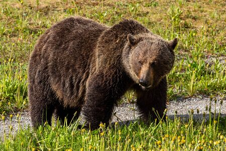 A grizzly bear on a meadow
