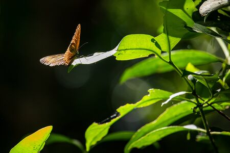 Double-branded crow butterfly in the jungle of con dao