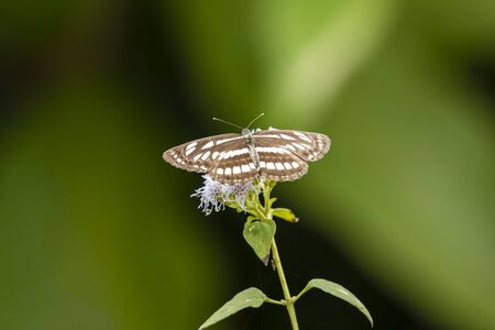 A common glider butterfly from vietrnam