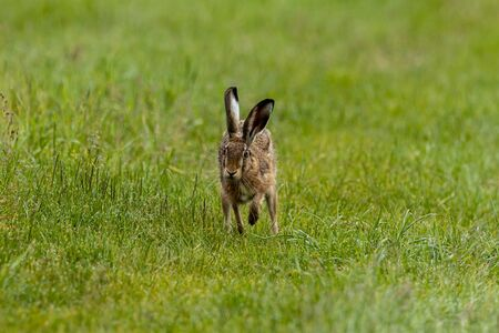 A wild brown hare on a meadow