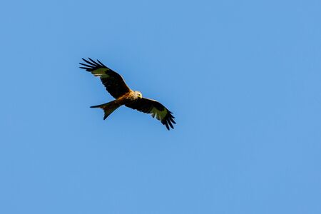 A Red Kite in the air