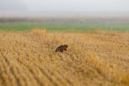 A wild brown hare on a field Foto de archivo