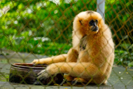 A Southern yellow cheeked crested gibbon at Cuc Phoung Jungle
