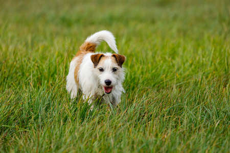 A cute Terrier is playing on a Meadow Stock fotó