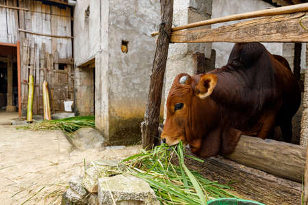A Cow in the barn in a Village in Vietnam
