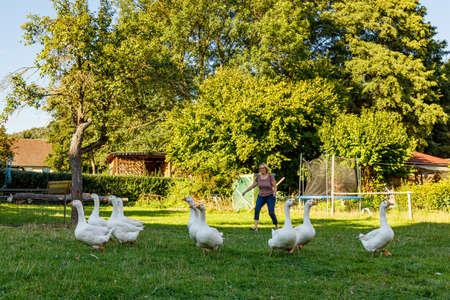 A flock of Geese on a farm Standard-Bild