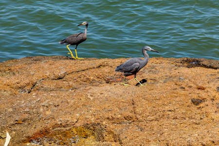 A Pacific Reef Egret at the coast of Mui Ne in Vietnam